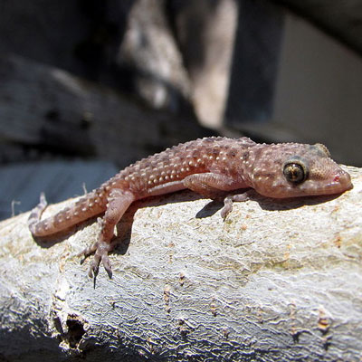 Mediterranean Gecko Facts and Pictures | Reptile Fact