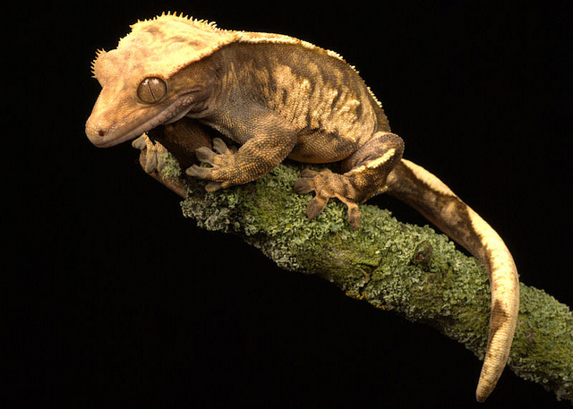 Giant Crested Gecko