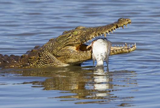 Nile Crocodile Facts and Pictures | Reptile Fact