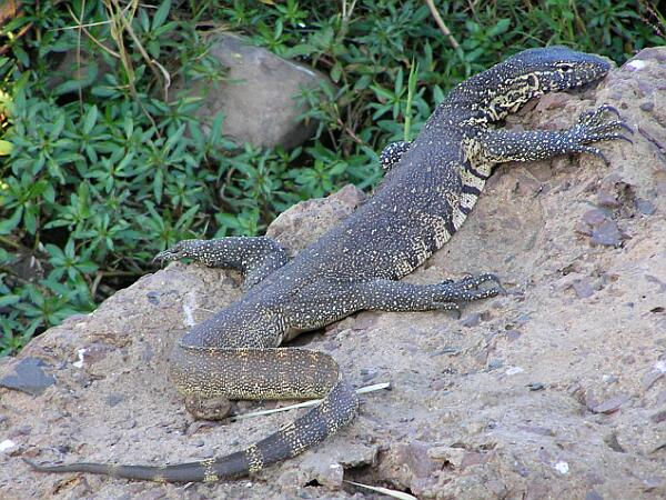 Nile Monitor Facts and Pictures | Reptile Fact