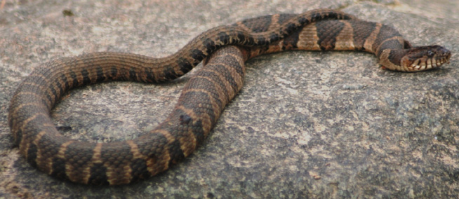 Northern Water Snake Facts and Pictures   Reptile Fact