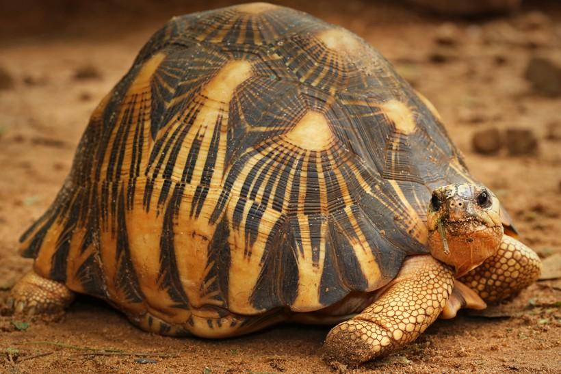 hawksbill turtle endangered