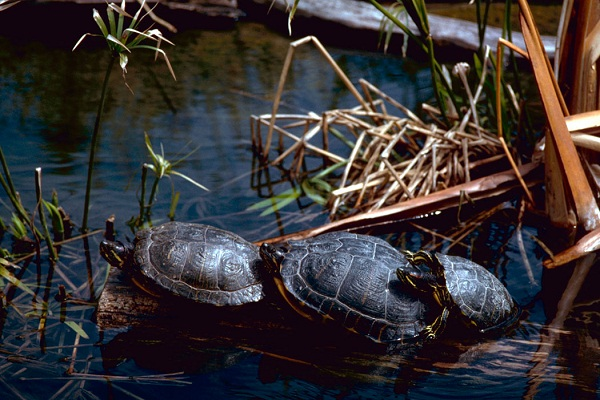 Red Eared Slider Facts And Pictures Reptile Fact
