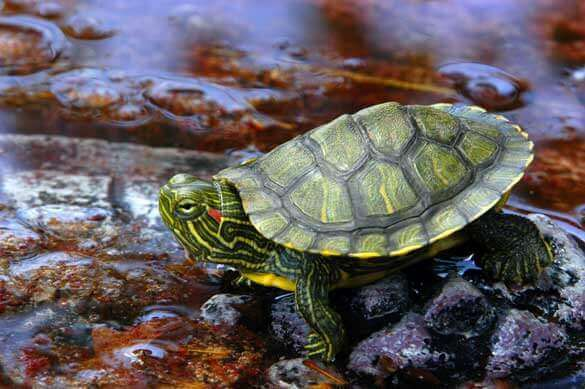 Red-eared Slider Facts and Pictures   Reptile Fact