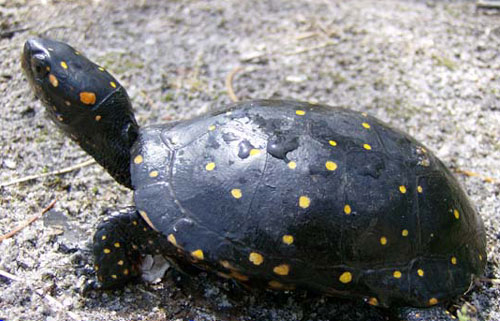 Spotted Turtle Facts And Pictures Reptile Fact