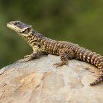 Sungazer Lizard Pictures