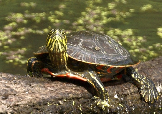 Western Painted Turtle Facts And Pictures Reptile Fact