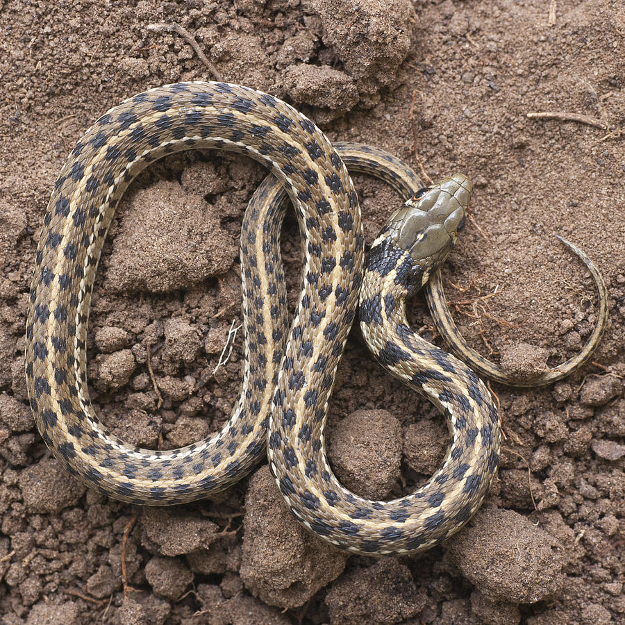 Checkered Garter Snake Facts and Pictures | Reptile Fact