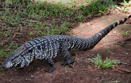 Black and White Tegus.   Future Pets!   Pinterest ...   Giant Tegu Lizard