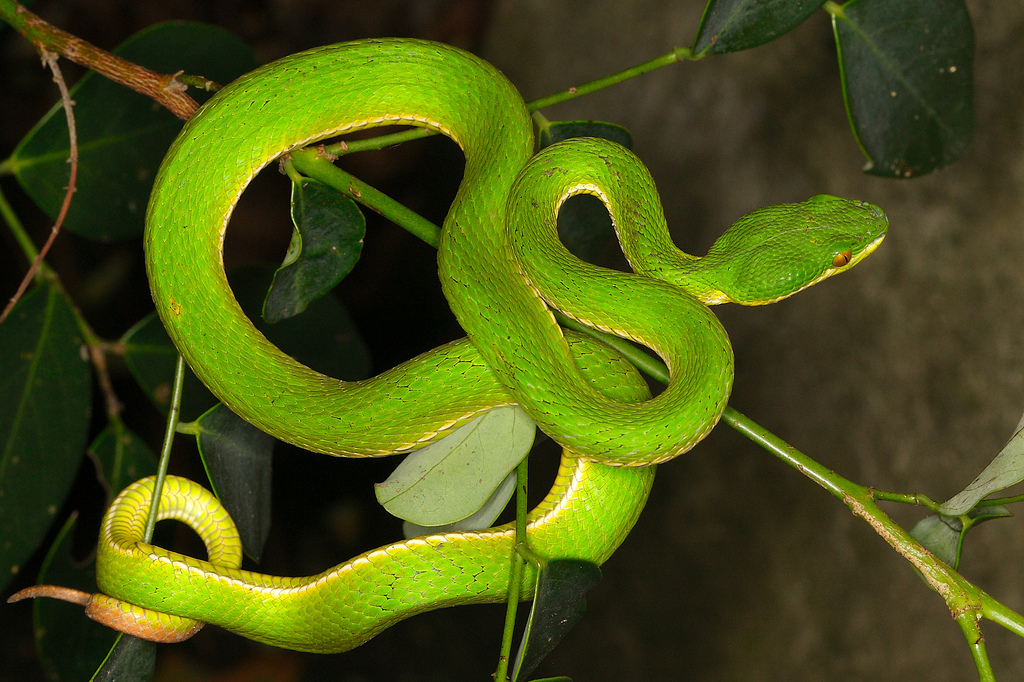Stejneger S Bamboo Pitviper Facts And Pictures Reptile Fact