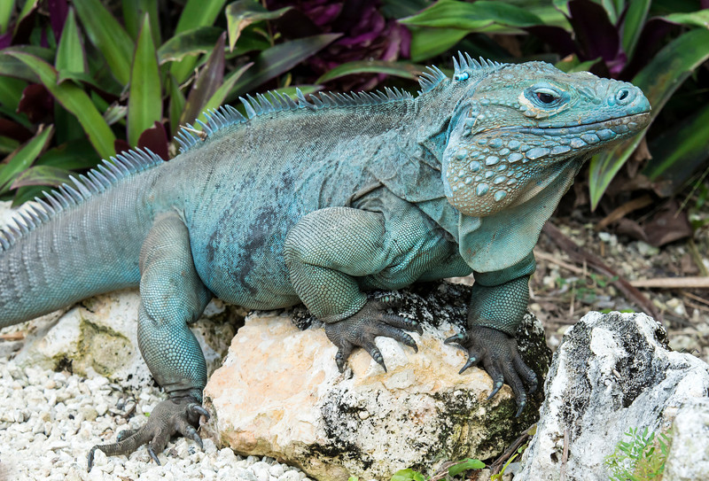 Blue Iguana Facts And PicturesReptile Fact