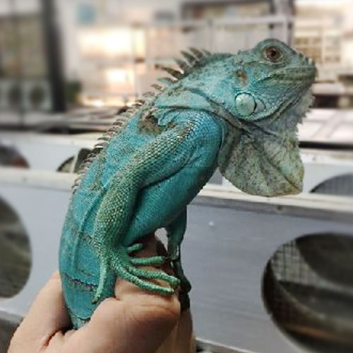 Blue Iguana Facts And Pictures