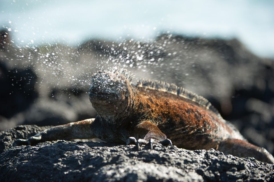 Marine Iguana Facts and Pictures | Reptile Fact