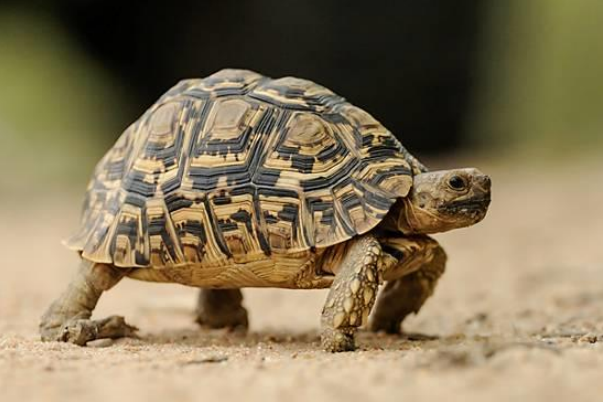 leopard tortoise facts and pictures reptile fact