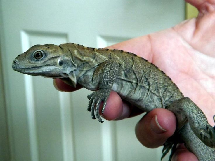 Rhino Iguana Facts and Pictures | Reptile Fact