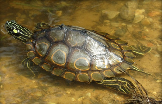 Ringed Map Turtle Facts and Pictures | Reptile Fact
