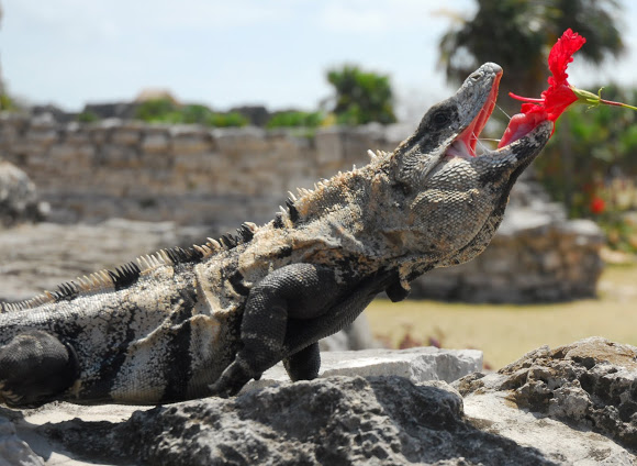 black iguana facts and pictures reptile fact