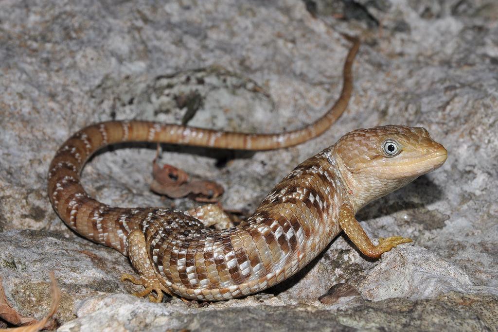 Texas alligator lizard pictures