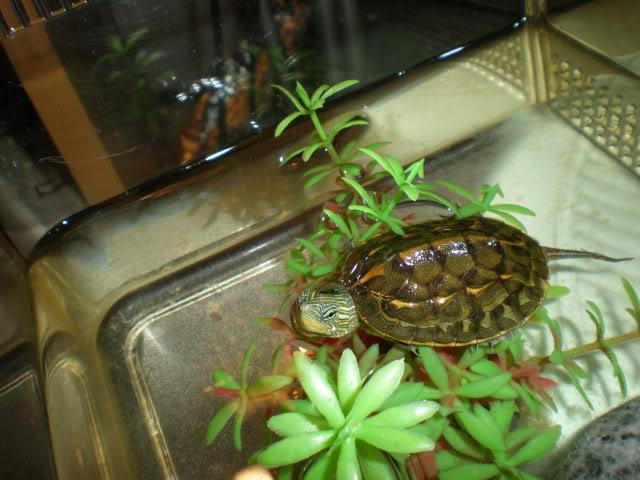 Golden Thread Turtle