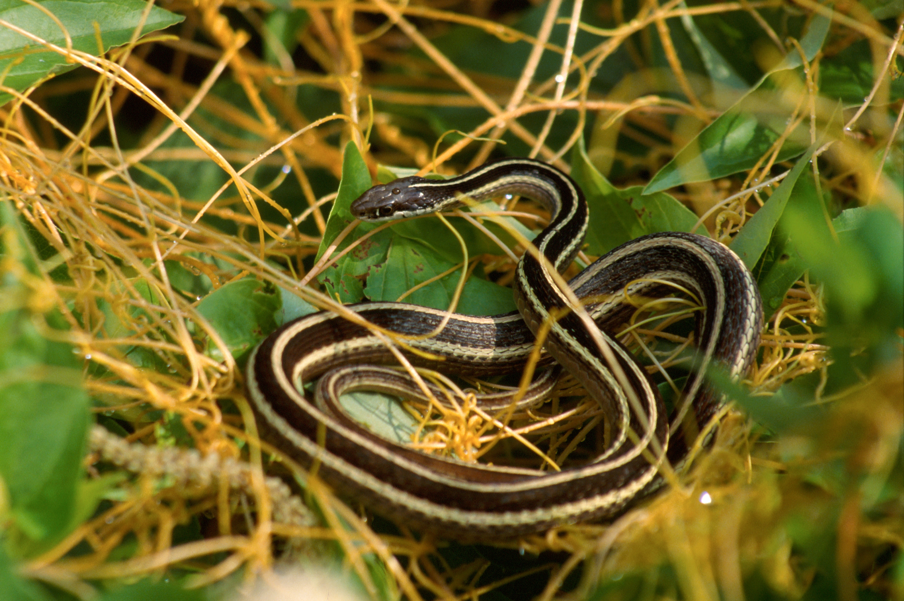 Eastern Ribbon Snake Facts and Pictures | Reptile Fact