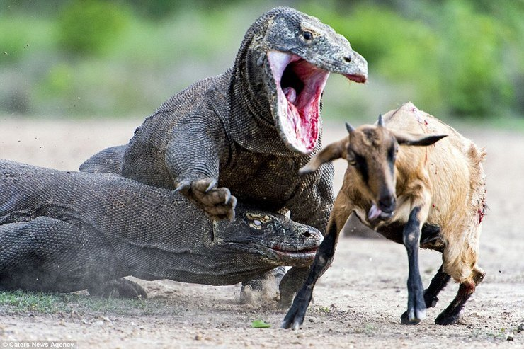 Komodo Dragon Facts and Pictures | Reptile Fact