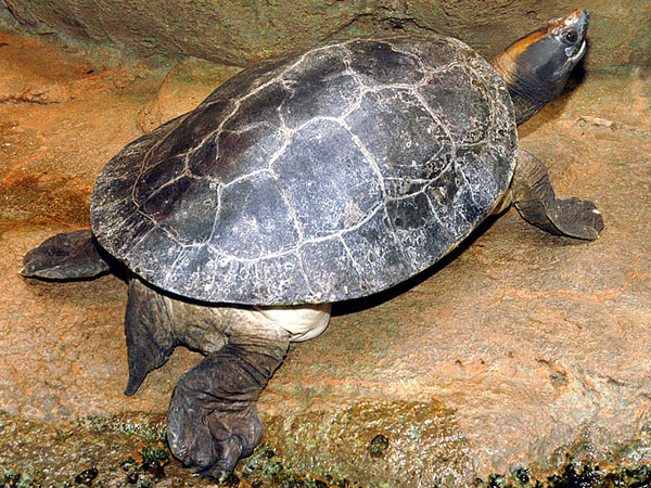 Painted Terrapin Facts And Pictures Reptile Fact