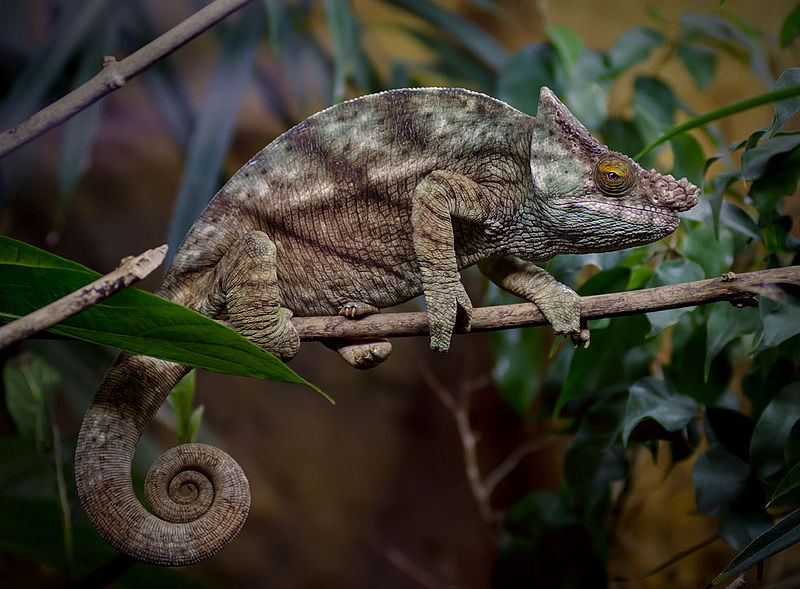 Parson S Chameleon Facts And Pictures Reptile Fact