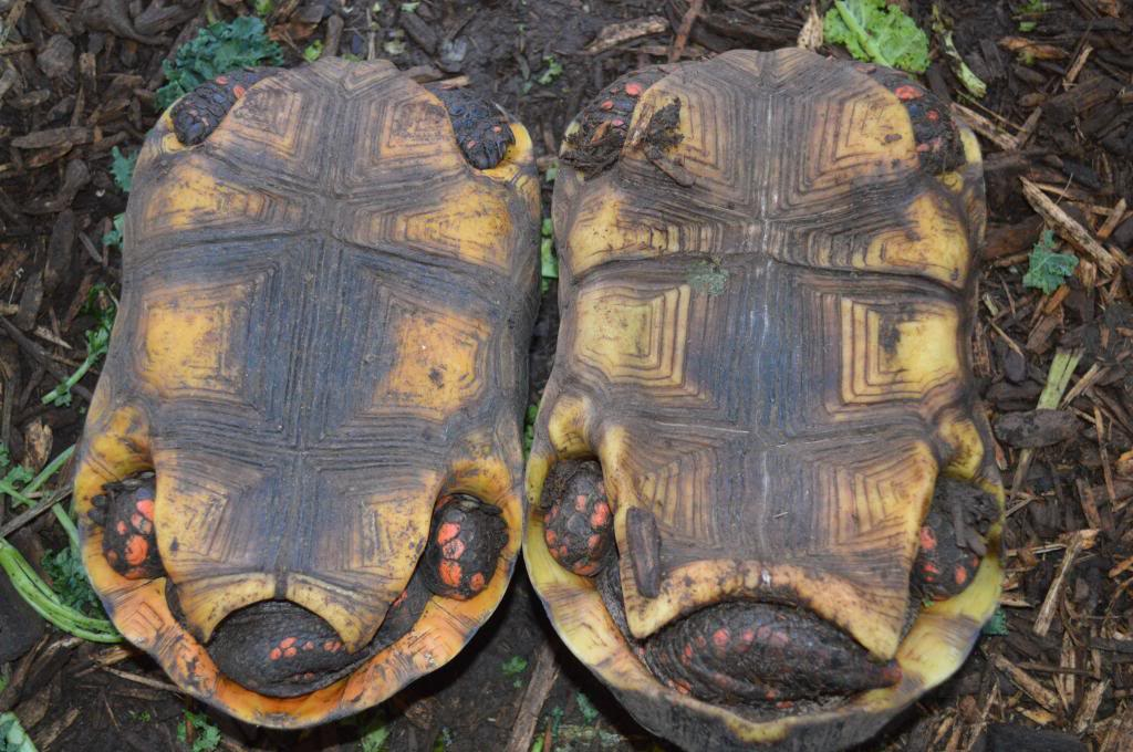Red Footed Tortoise Facts And Pictures Reptile Fact