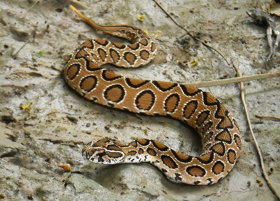 Russell's Viper (Chain Viper)