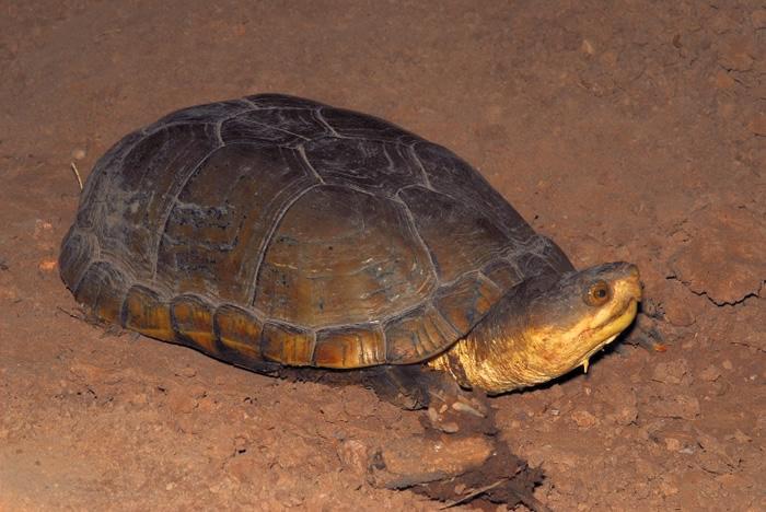 Mud turtle