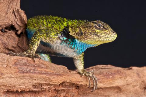 lizard on rock. zoo, animal, swift, reptile Stock Photo, Royalty ...