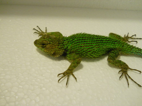 Emerald Swifts For Sale - Underground Reptiles