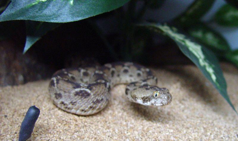 Carpet Viper Facts Carpet Vidalondon