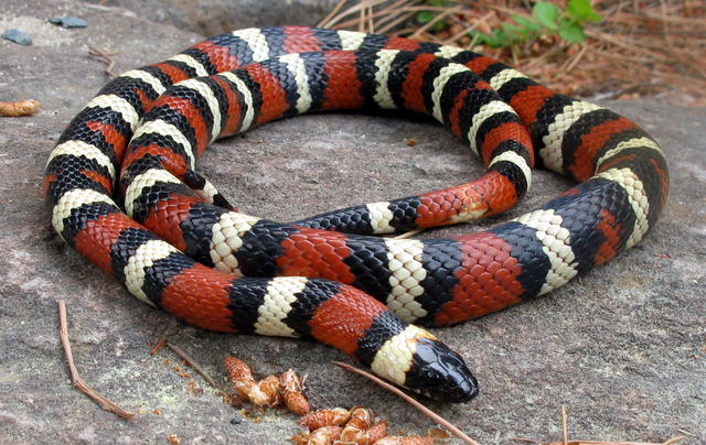 California Mountain Kingsnake Facts And Pictures Reptile Fact - California king snake
