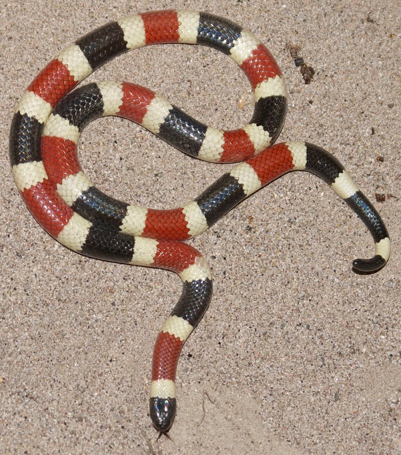 Arizona Coral Snake Facts And Pictures