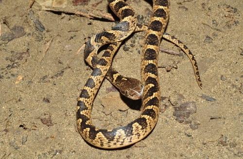 Egyptian Cat Eyed Snake