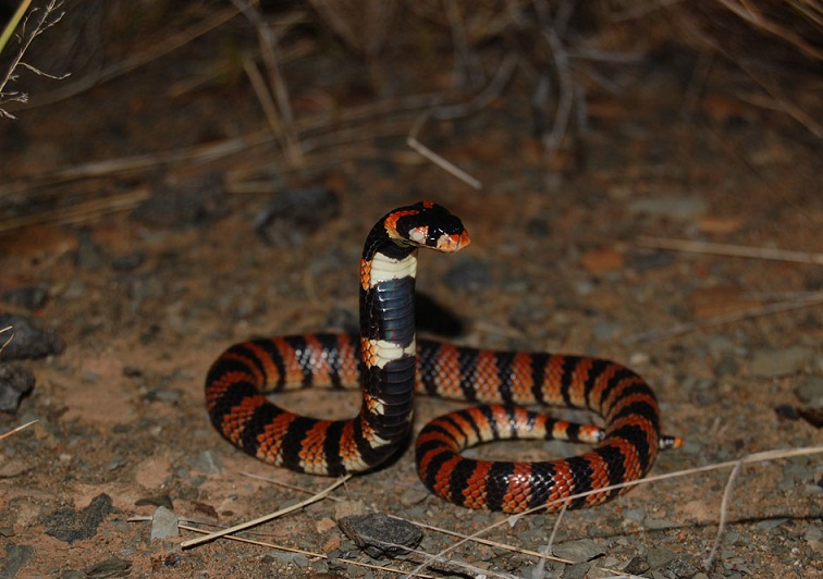 Cape Coral Snake Facts And Pictures