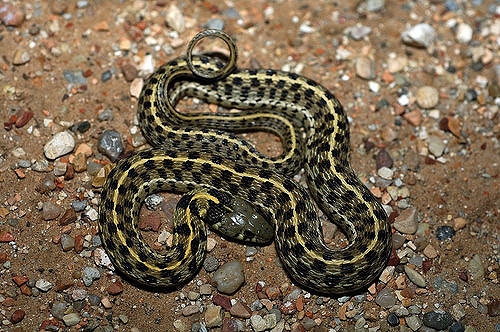 Checkered Garter Snake Facts and Pictures