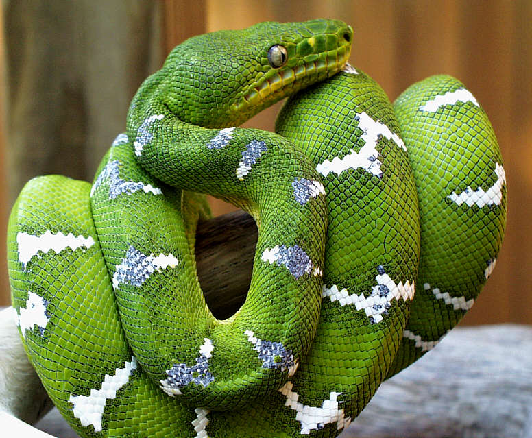 emerald tree boa facts and pictures