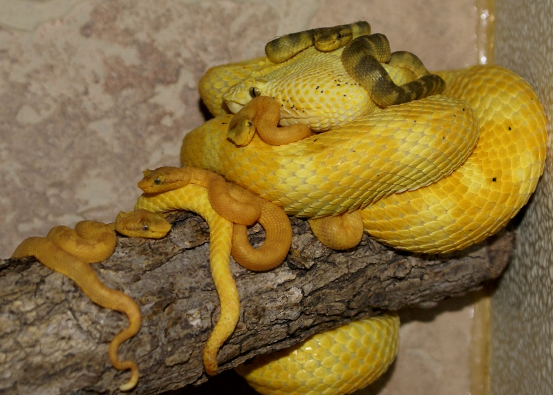 Eyelash Viper Facts And Pictures Reptile Fact