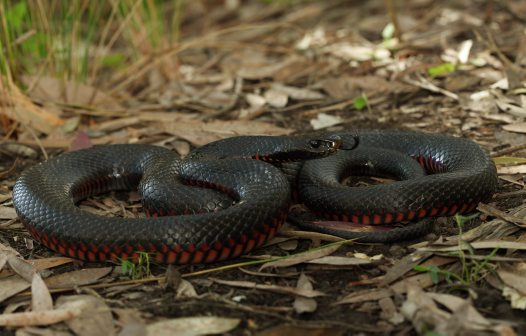 red bellied black snake facts  pictures