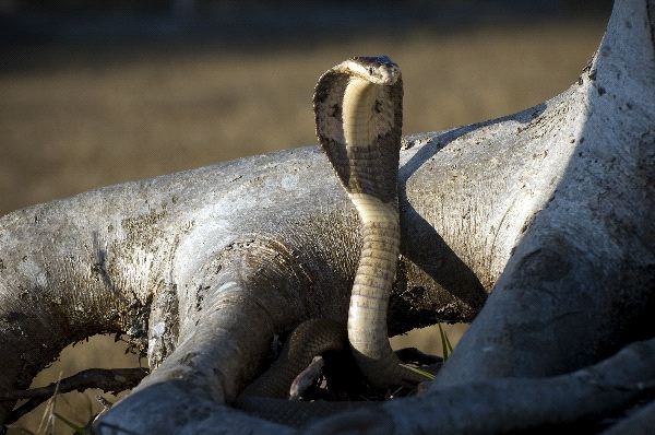 Monocled Cobra Facts And Pictures