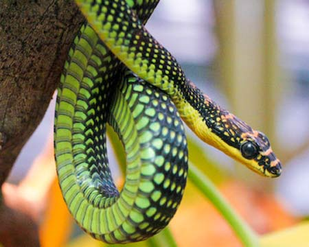 Paradise Flying Snake Facts And Pictures