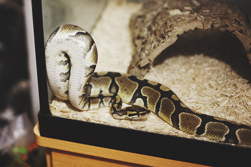 Ball Python Facts and Pictures | Reptile Fact