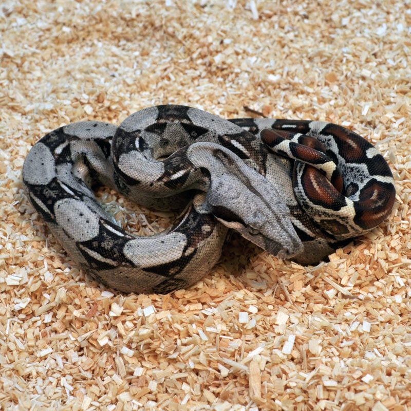 Red-Tailed Boa Facts and Pictures