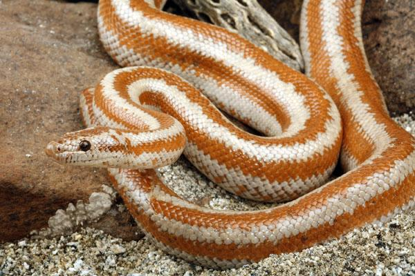 Rosy Boa Facts And Pictures