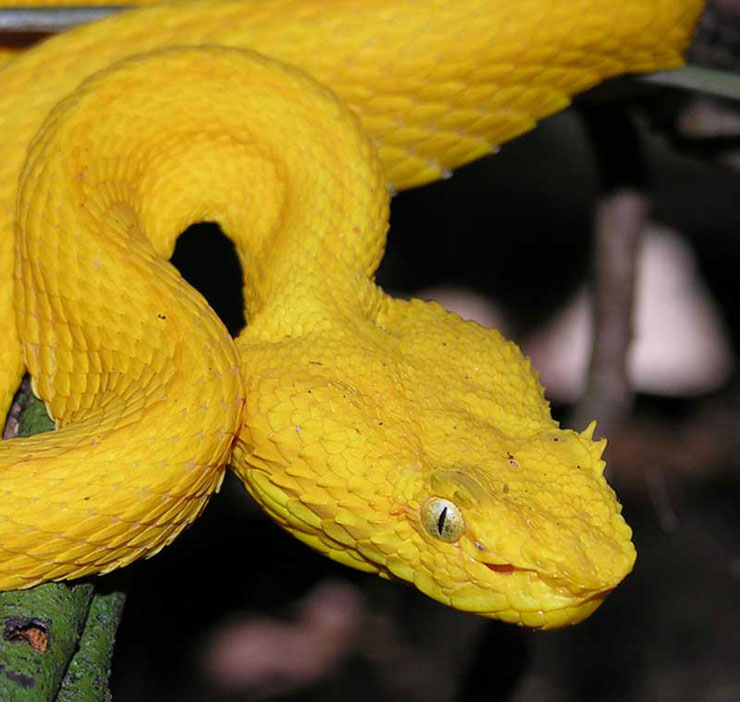 Eyelash Viper Facts and Pictures