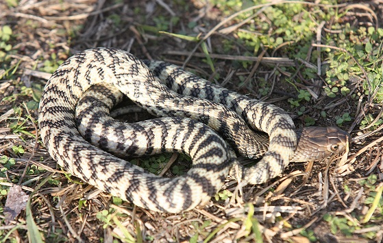 Zebra Spitting Cobra Facts And Pictures Reptile Fact