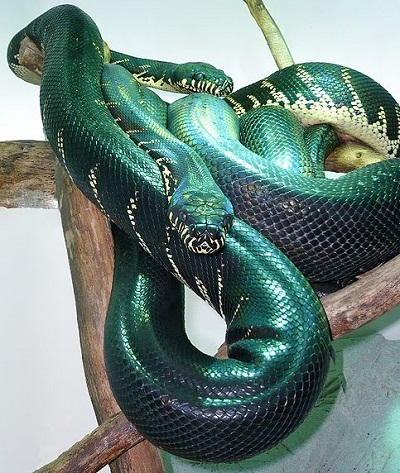Boelen S Python Facts And Pictures
