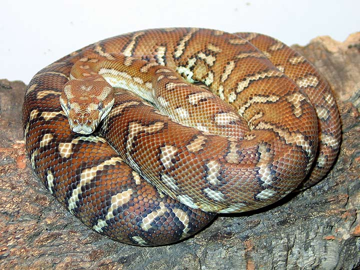 Bredl S Python Facts And Pictures Reptile Fact